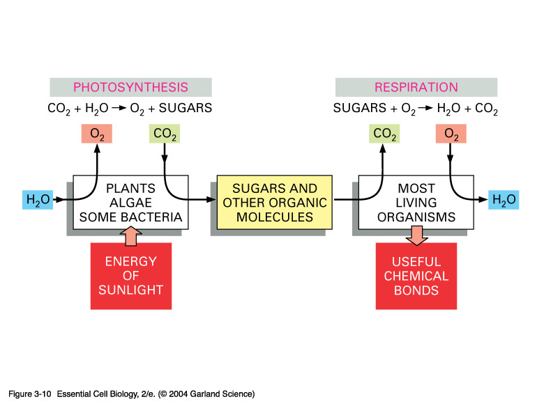 How do photosynthesis and respiration work together florian picture ccuart Gallery